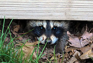 Richmond VA Raccoon Removal & Trapping