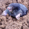 mole on summer molehill in the garden