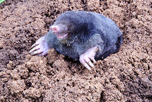 Moles Removal & Control