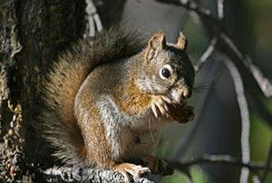 Richmond VA Squirrel Removal & Trapping